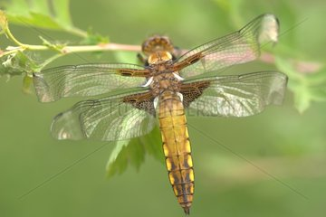 Female Eurasian red dragonfly depressed put on a limb