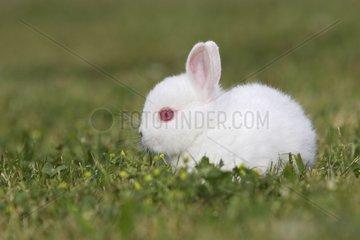Polish dwarf rabbit in the grass Rhinau Alsace France