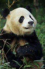 Portrait d'un jeune Grand Panda pendant son repas