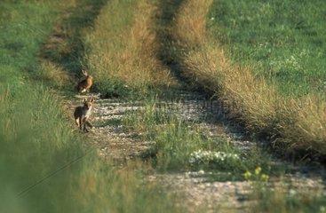 Lièvre et renard roux Vosges France