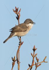 Male Lesser Whitethroat singing at spring - GB