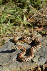 Léopard snake on rock