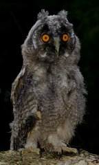 Long-eared owl on a black background