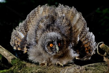 Long-eared Owl in intimidation position on black background