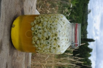 Making of roman chamomile oil in a garden