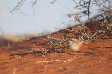 Kalahari Scrub Robin - Red sands dunes ot southern Kalahari