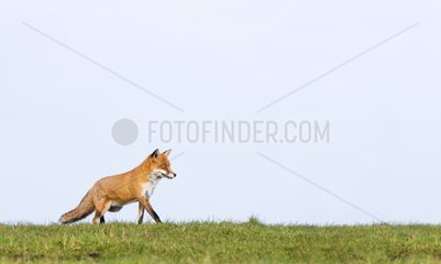 Red Fox walking on the top of a hill in autumn - GB