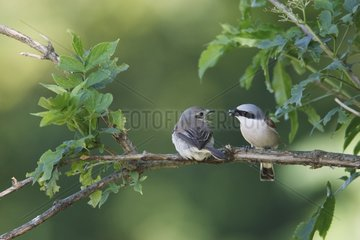 Male Red backed Shrike offering an insect to the female
