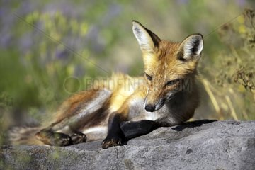 Red fox resting on a rock Quebec Canada