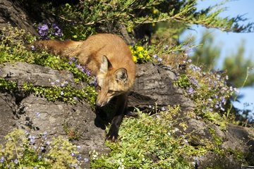 Red fox hunting on a rock Quebec Canada