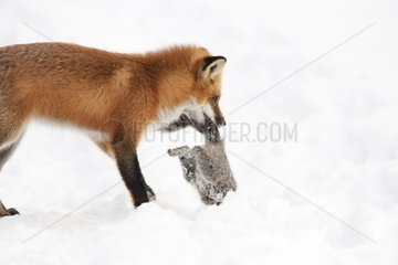 Red fox catching a Grey squirrel in snow Quebec Canada