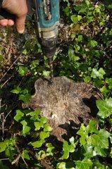 Garlic traitment on tree stump to eliminate