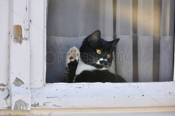 Black and white kitten waving his paw at the window