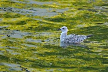Immature herring gull on the water - Belgium