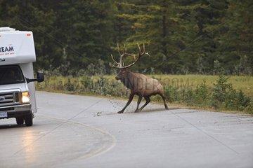 Elk rut in loading a camper on the road Canada