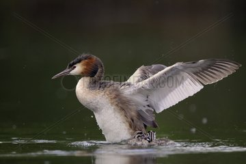 Great Crested Grebe flapping wings on water - Luxemburg