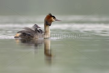 Great Crested Grebe carrying her young on water - Luxemburg