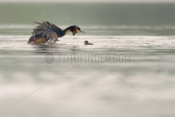 Great Crested Grebe snorting and young on water - Luxembourg