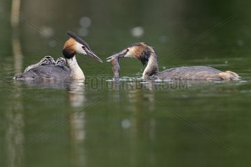 Great Crested Grebe carrying her young on her back - Luxemburg