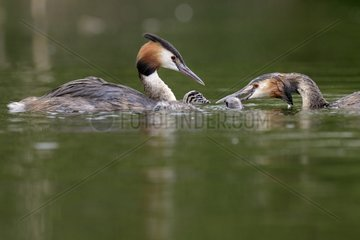 Great crested grebes feeding their young on water - Luxemburg