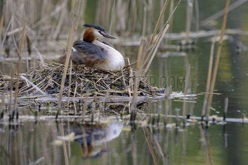 Great Crested Grebe brooding at nest - Luxemburg