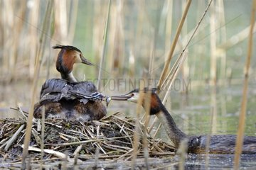 Feeding Great Crested Grebe brooding at nest - Luxemburg