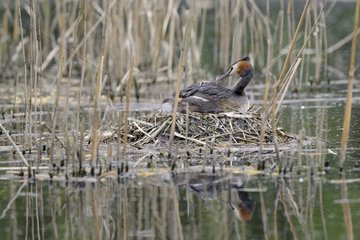 Great Crested Grebe at nest feeding a young - Luxemburg