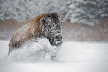 American bison in the snow - Montana