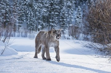 Cougar walking in the snow - Montana