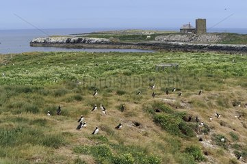 Atlantic Puffins and burrows on the island Staple - Farne Islands