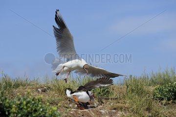 Black-headed Gull attacking an Atlantic Puffin - Farne Islands