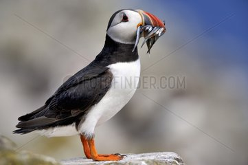 Atlantic Puffin with the bill charged with Sandeels - Farne Islands