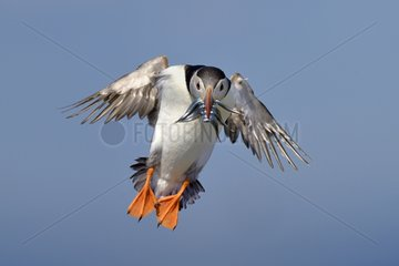 Atlantic Puffin in fligh with the bill charged with Sandeels