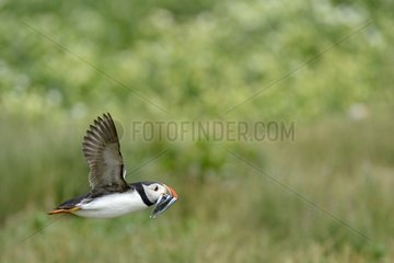 Atlantic Puffins flying with the bill charged with Sandeels