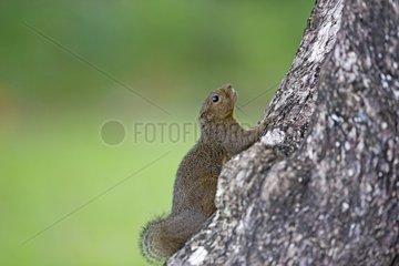 Plantain Squirrel on a trunk - Bako Malaysia
