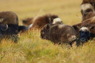 Muskox lying down in tundra Nome Alaska