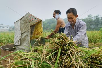 Collect rice in the Chinese province China