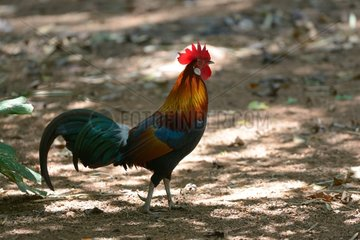 Red Junglefowl - Malaysia