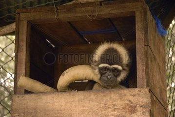 Female injured gibbons in its niche sanctuary Kalaweit