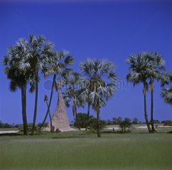Termitary in the middle of the Makalani Palm trees Namibia