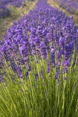 Officinal lavender super-blue Provence France