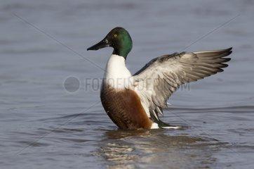 Drake Shoveler flapping wings on water- GB