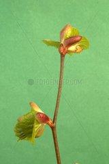 Break of littleleaf linden buds in the spring