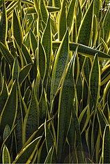 Foliage of Viper's Bowstring Hemp Mahe Island Seychelles