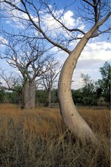 Jeunes Baobabs à la saison sèche Australie