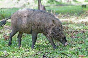 Bearded Pig in the grass - Bako Borneo Malaysia