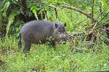 Boar beard undergrowth - Bako Borneo Malaysia