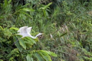 Intermediate egret in flight on the bank - Malaysia