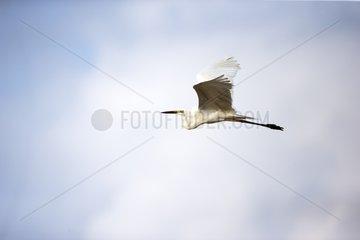 Intermediate egret in flight - Borneo Malaysia
