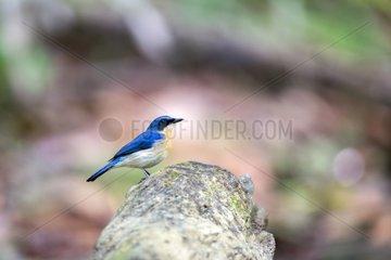 Malaysian blue flycatcher on branch - Sabah Borneo Malaysia